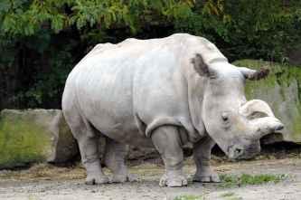 nola rhinoceros blanc